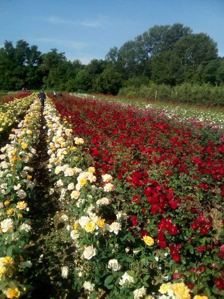 Sadnice Ruža iz Rasadnika Tojkić 10