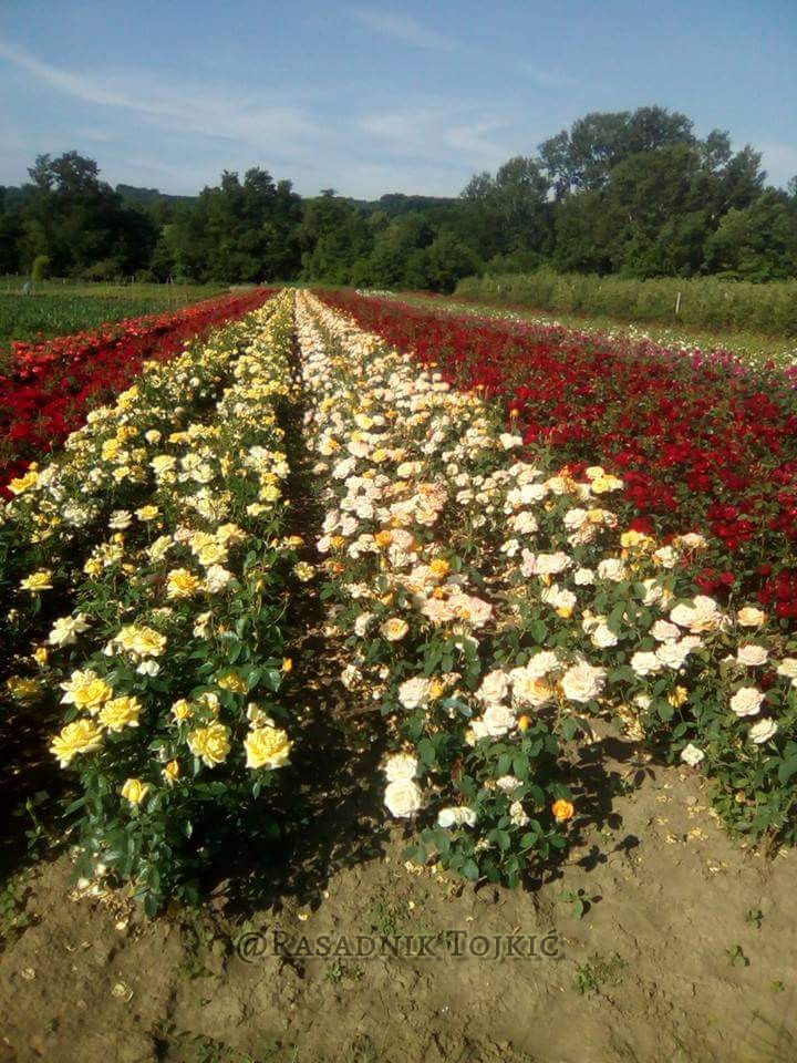 Sadnice Ruža iz Rasadnika Tojkić 14