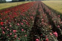 Sadnice Ruža iz Rasadnika Tojkić 11
