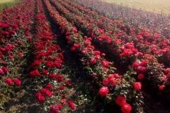 Sadnice Ruža iz Rasadnika Tojkić 12
