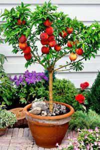 Mini sadnice voća - mini breskva