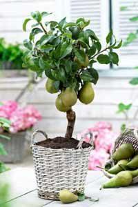 Mini sadnice voća - mini Kruška