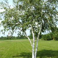 parkovska breza