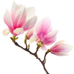 Sadnice Magnolije