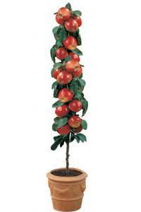 stubaste sadnice voca - stubasta jabuka