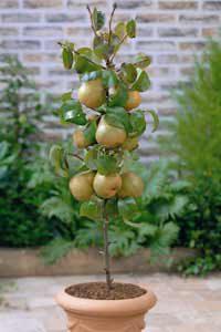 stubaste sadnice voca - stubasta kruška