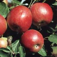 sadnice jabuke - jabuka ajdared