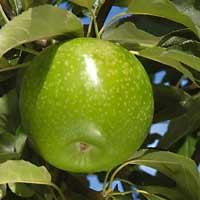 sadnice jabuke - jabuka celindzer