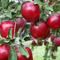 sadnice jabuke - jabuka crveni delises