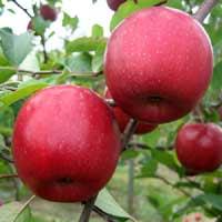 sadnice jabuke - jabuka fudzi