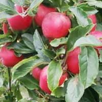 sadnice jabuke - jabuka gala