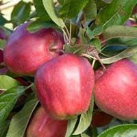 sadnice jabuke - jabuka gloster