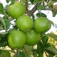 sadnice jabuke - jabuka greni smit