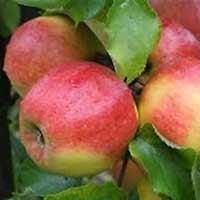 sadnice jabuke - jabuka jonagold