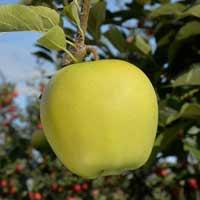 sadnice jabuke - jabuka rajnders