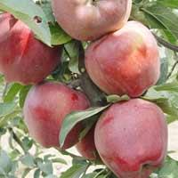 sadnice jabuke - jabuka red cif