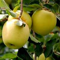 sadnice jabuke - jabuka zlatni delises