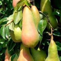 sadnice kruske - kruska abate fetel