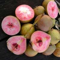 sadnice kruske - kruska lubenicarka