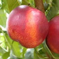 sadnice nektarine - nektarina fantazija