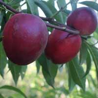 sadnice nektarine - nektarina kaldezi