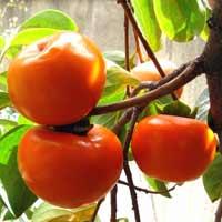 sadnice kaki jabuke