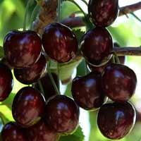 sadnice trešnje - tresnja black star