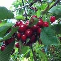 sadnice trešnje - tresnja burlat