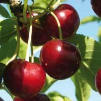 sadnice višnje - visnja keleris