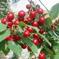 sadnice višnje - visnja sumadinka